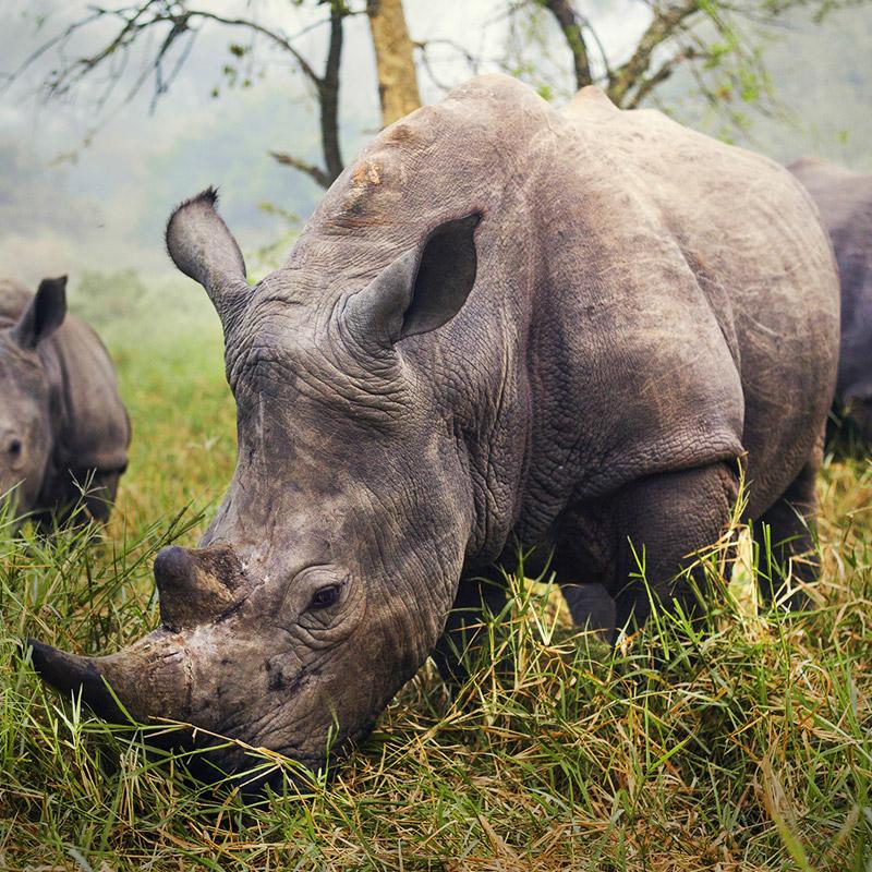 Black rhino south africa