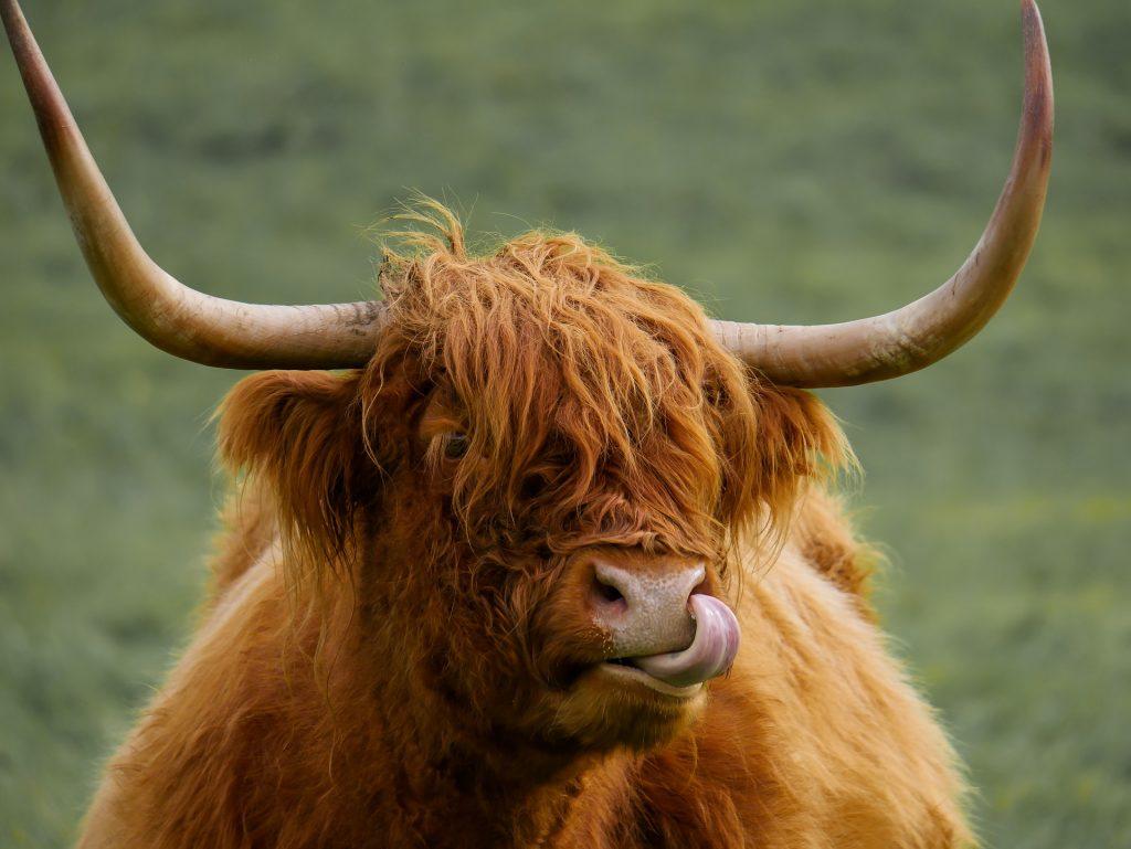scotland-highland-cow