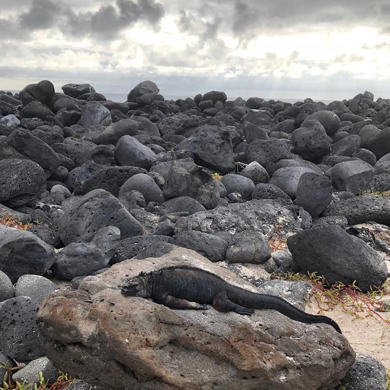iguana in galapagos rock