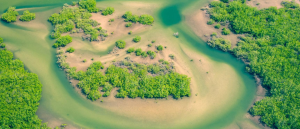 Mangroves carbon capturing